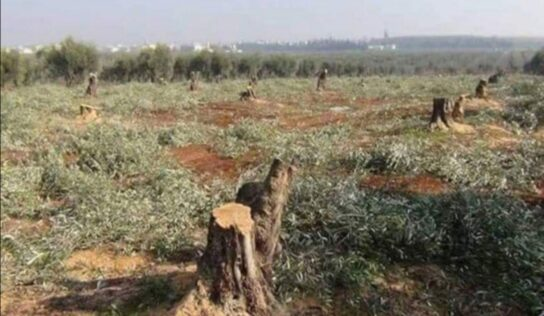 Ankara factions cut down Afrin's fruit trees to sell them as firewood