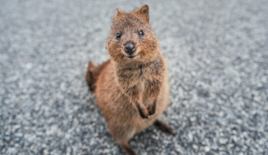 'Unacceptable cruelty': Teen takes heat after filmed forcing vulnerable quokka to VAPE, could face 5 years in jail