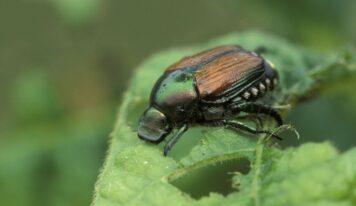 Japanese Beetle Spreads Horror in Germany