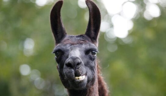 Can Llama's Save Us from COVID-19?