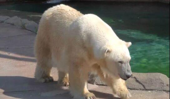 Snow Lilly the Polar Bear Dies at 36 in Milwaukee Zoo