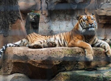 6 Lions and 3 Tigers Heal from COVID-19 at Washington Zoo